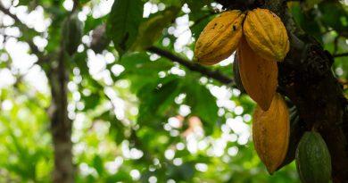 cocoa, fairtrade, Côte d'Ivoire
