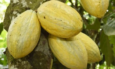 Research, Fairtrade, living standards poorest cocoa farmers